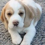 Golden-Daylight-Beagle P-Wurf 6. Woche 29