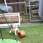 Golden Daylight Beagle P-Wurf 7. Woche 17