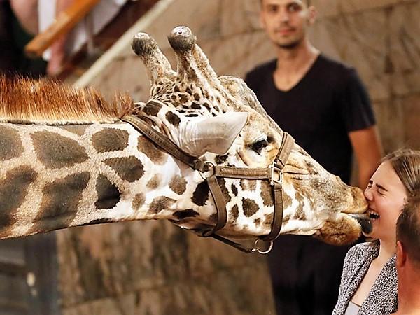 Bagir the Giraffe (August 10, 2017)