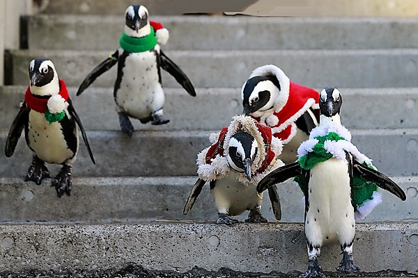 African Penguins (December 12, 2017)