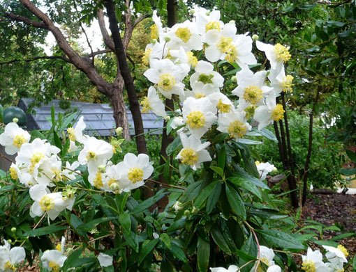 Carpenteria californica-California Bush Anemone