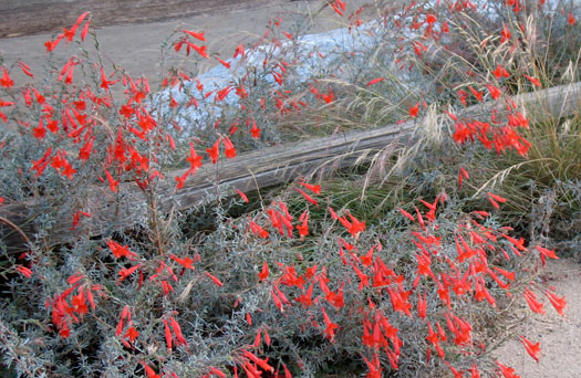 Epilobium (Zauschneria) californicum 'Catalina'-California Fuchsia selection