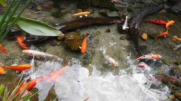 Tips For Setting Up Your Own Goldfish Pond