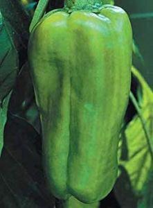 GEOPONICS 125 graines de Big Berta Hybride – Weet Pepper
