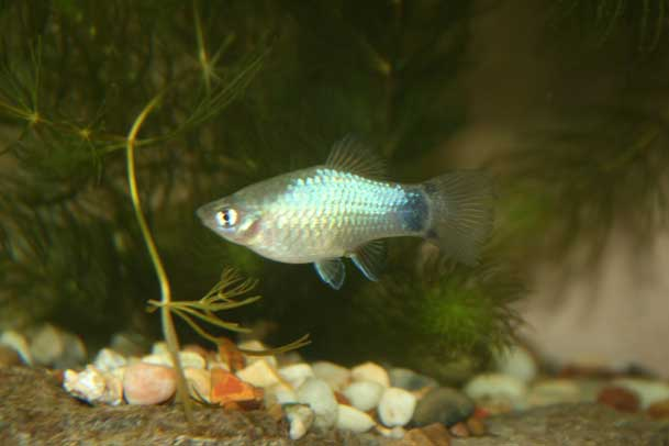 Female Blue Maculatus