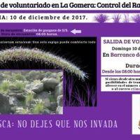 Última campaña de voluntariado del año 2017 en La Gomera para el control del Rabo de Gato