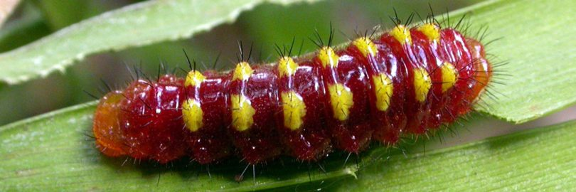 jewel caterpillar1