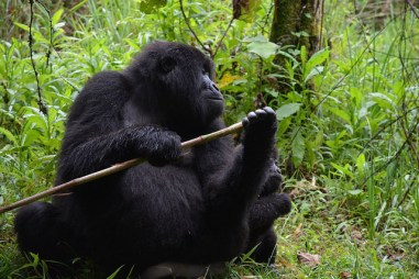 Ecotourism and Gorillas