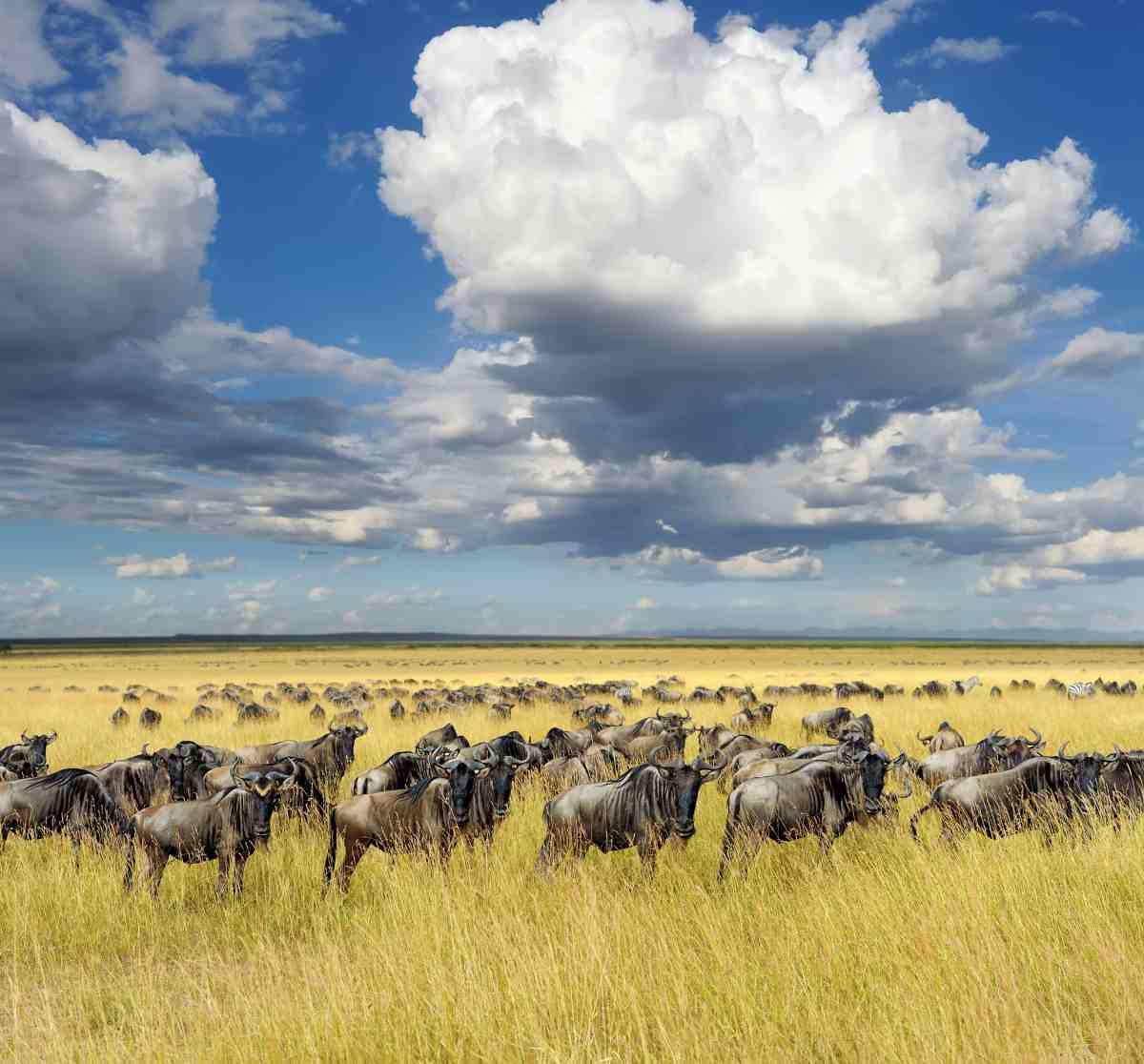 Picture of wildebeest in Tanzania on Gondwana Ecotour's Great Migration Camping Safari.