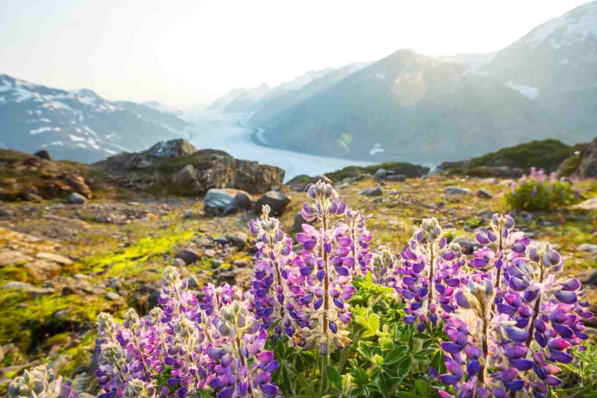 "Flowers blooming in front of a mountain landscape in Alaska for the Gondwana Ecotour's post, ""The Best Time to go to Alaska."""