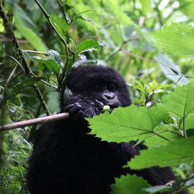 Peaceful Gorilla In Rwanda
