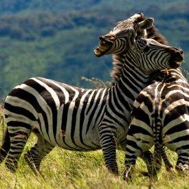 Male Zebras Clash in Serengeti National Park