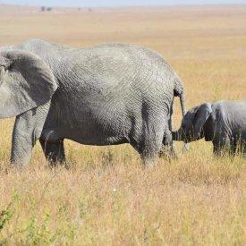 Elephants in the Serengeti