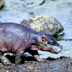 A baby hippo in the Serengeti