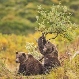 Katmailand Grizzlies by Anette Holmberg