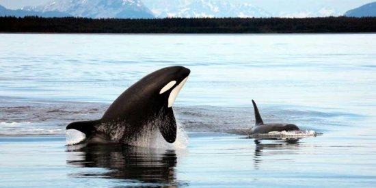 An Orca in Alaska!