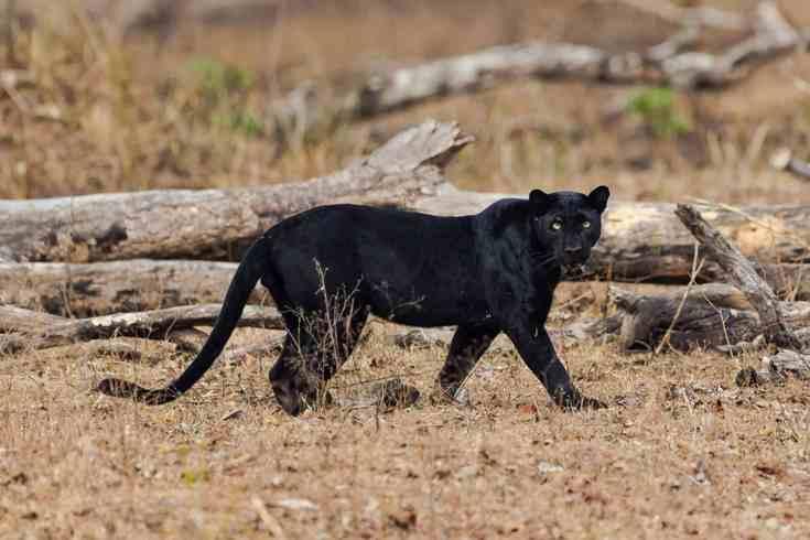 black-panther-injured