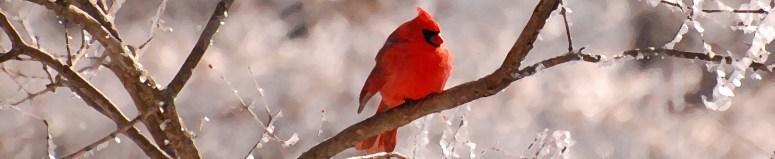 350 Winter Cardinal
