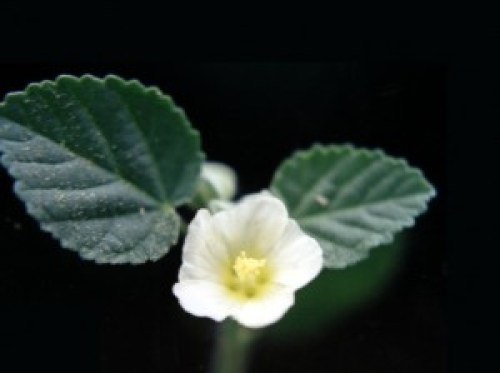sida-cordifolia-klein