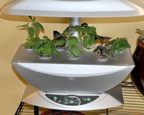 Kitchen grown basil