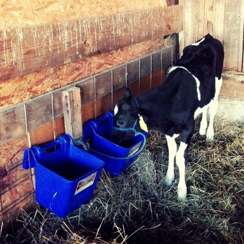 Beyer Dairy Cow