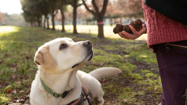 Fresh truffles found by Narla the labrador at Black Cat truffiere.