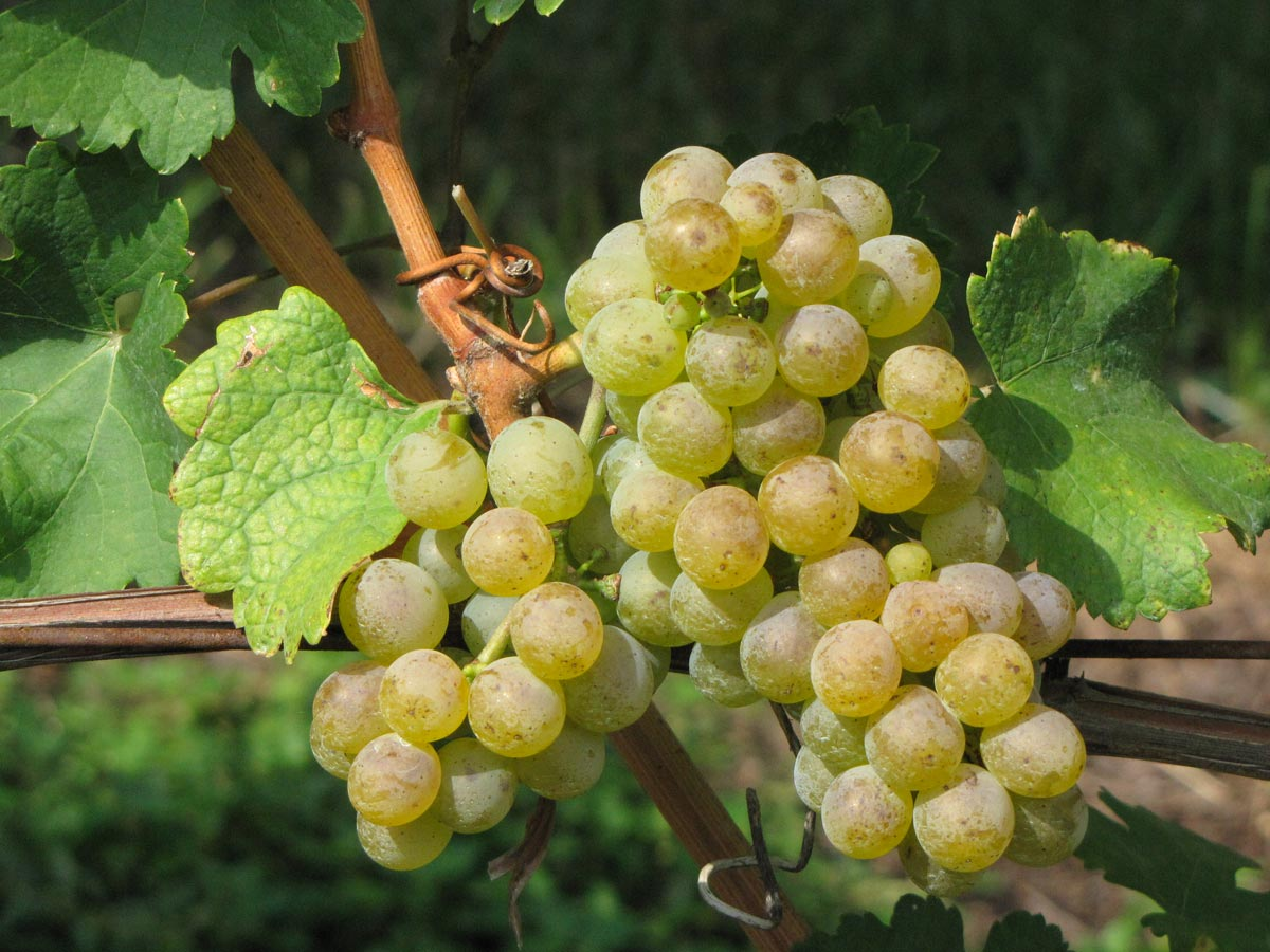 Some Nosiolo grapes on the vine.
