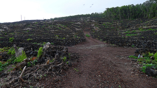 The vineyards in the Azores are unique in every which way, and truly astonishing to behold.