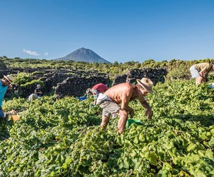 Vineyard workers at Azores Wine Co