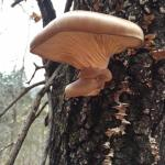 Oyster Mushrooms: The Catch of the Day