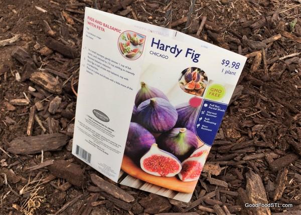 fig tree planting