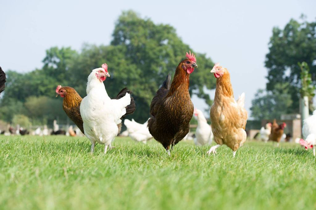 Happy Egg Hens