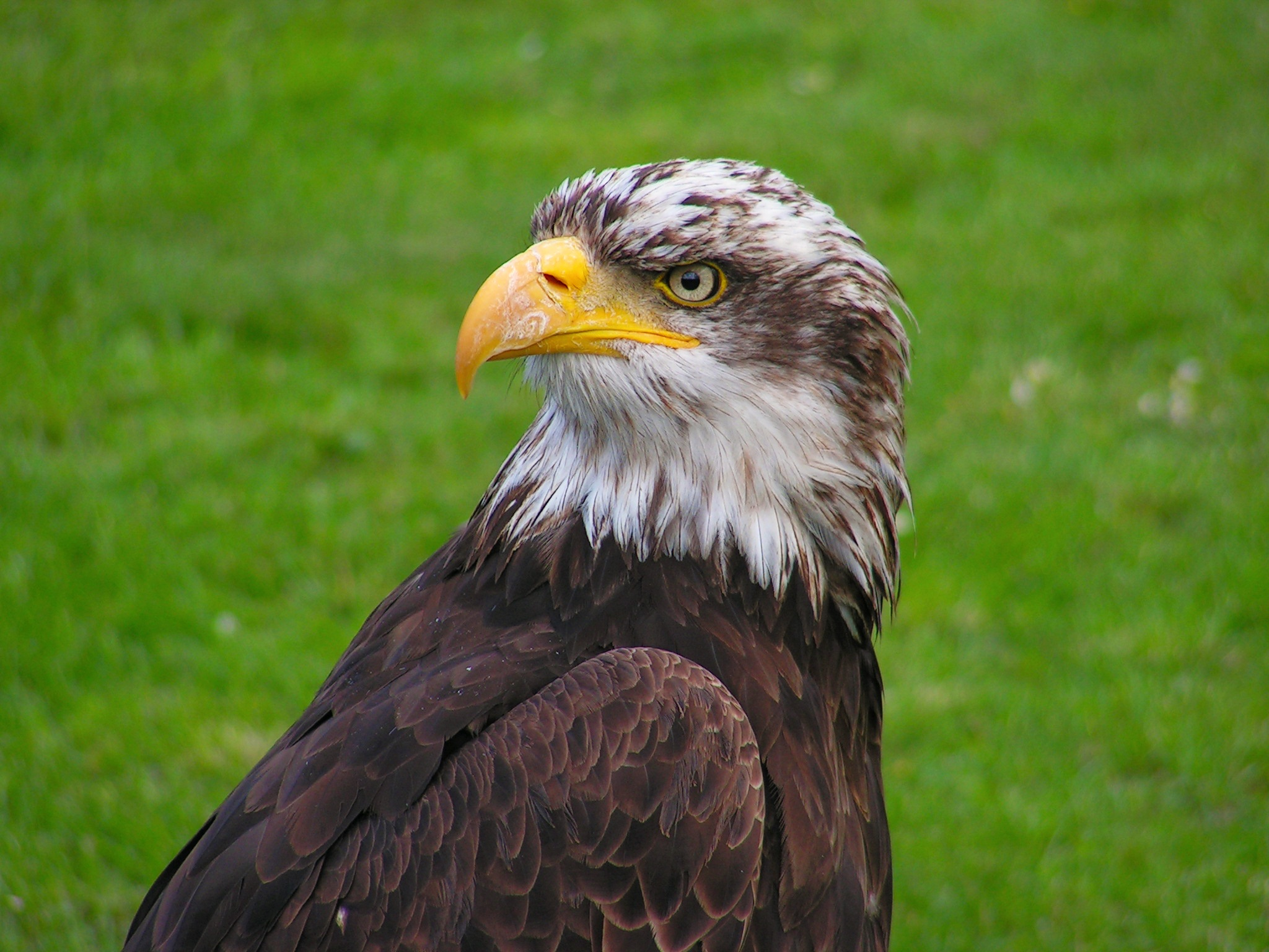 Young Bald Eagle Image