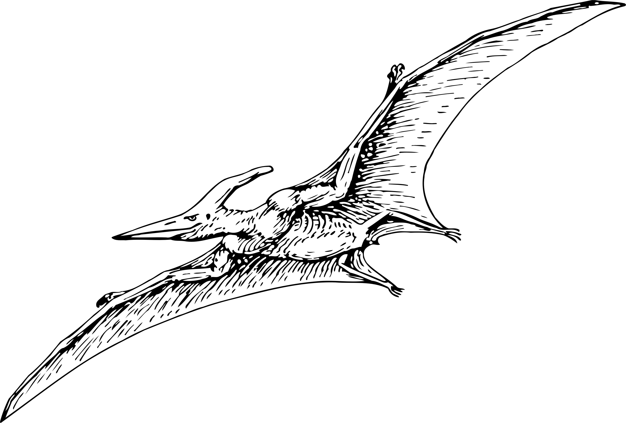 Pterodactyl Vector Drawing Image