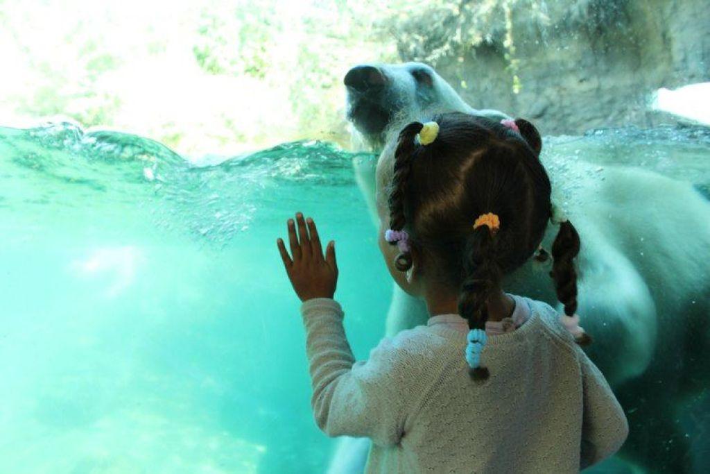 De ijsberen van Aalborg Zoo