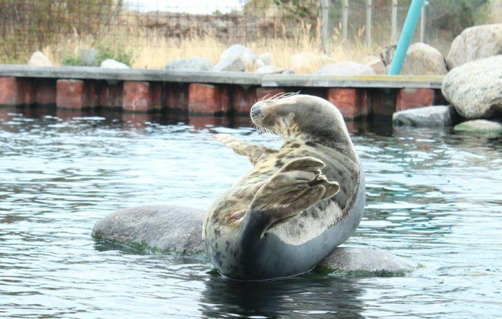 zeehond Nordsøen Oceanarium Hirtshals