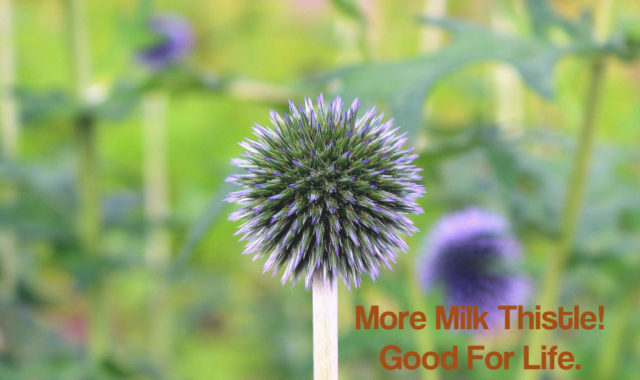 Milk Thistle Is Excellent for More Than Just the Liver