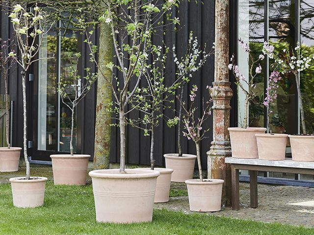 7 of the best trees for patio pots and