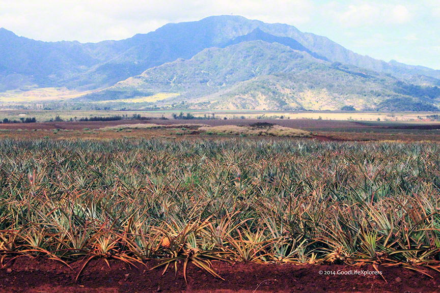 Dole Plantation Pineapple fields crop on Oahu Hawaii