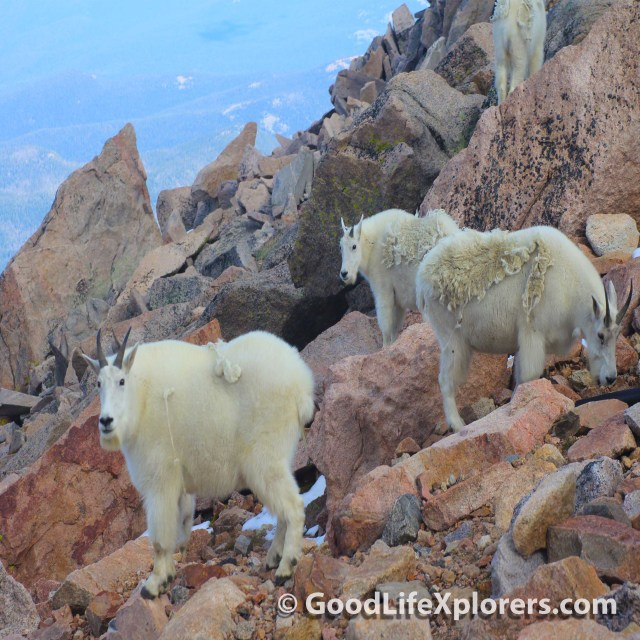 Goats at the Peak of Mt Evans