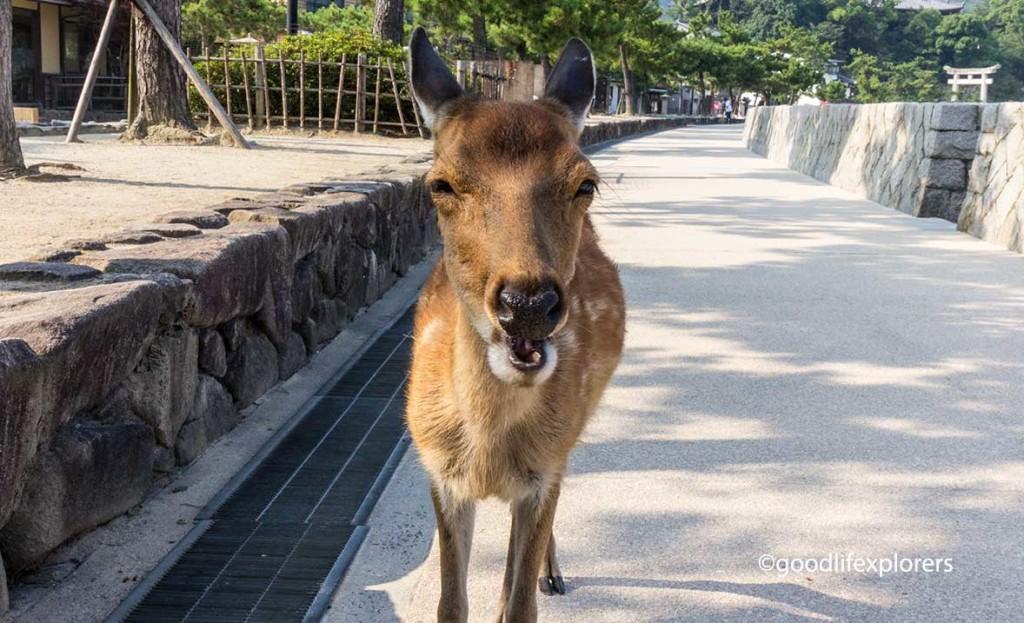 Deer closeup in Miyajima Japan