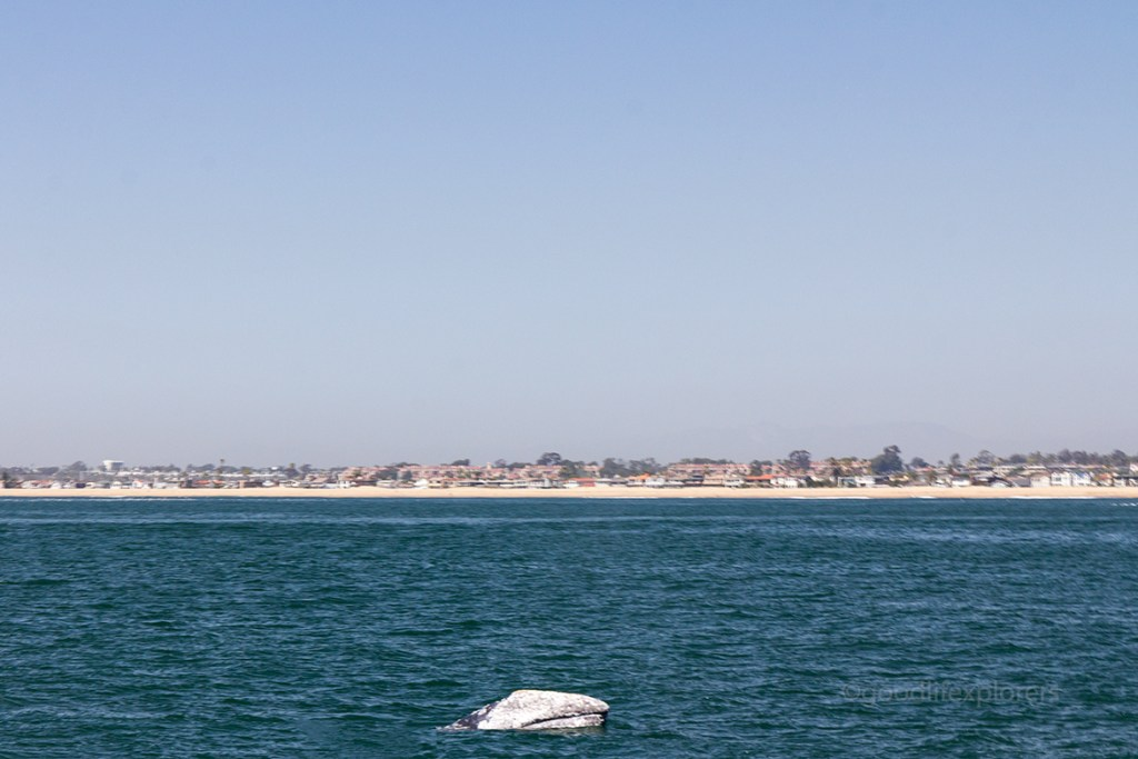 Grey whale breach migrating in Southern California spotted from a whale watching tour boat