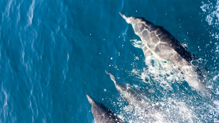 Dolphins riding the waves of a whale watching tour boat