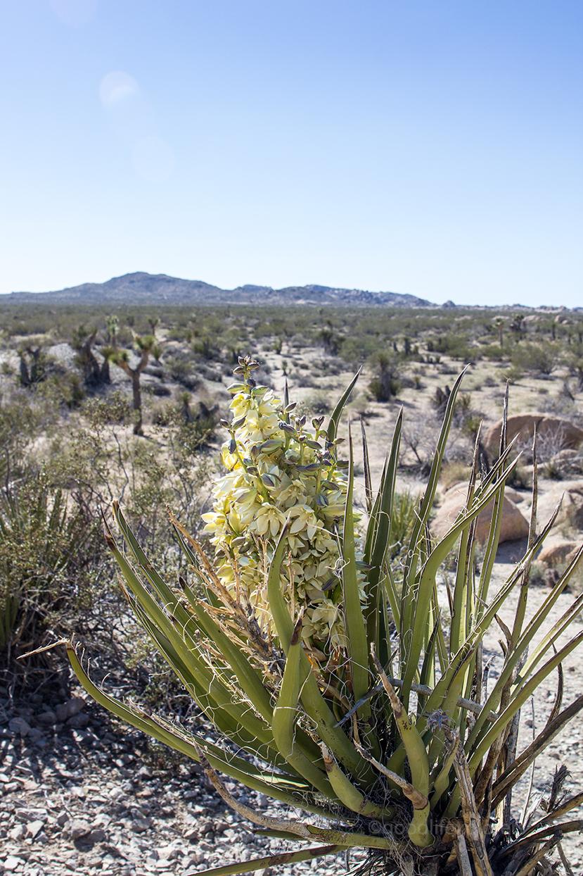 Yuca flower