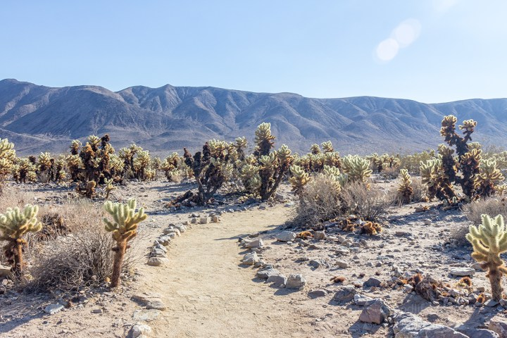 Cholla cactus garden in Joshua Tree National park California