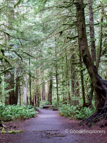 A trail at the Olympic National Forest with moss covered trees, and red dirt. Ferns line the ground.