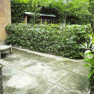 Gesnoeide heg in tuin