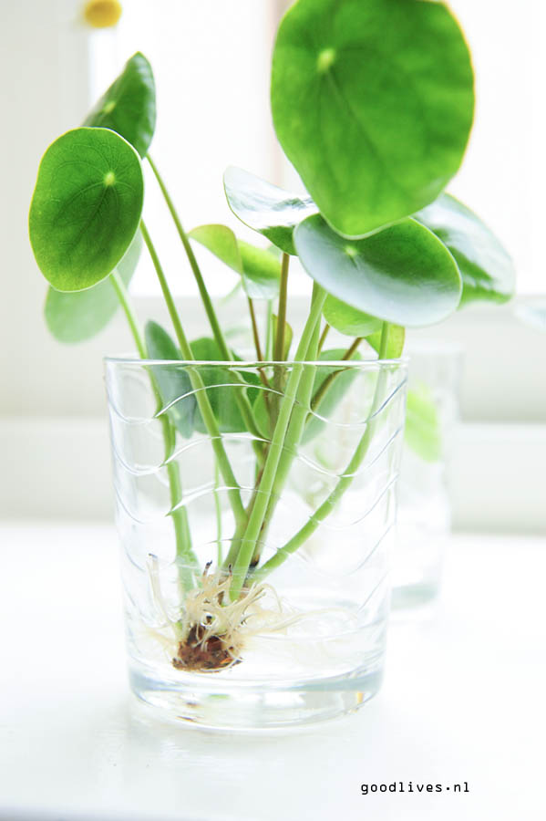 Baby Pilea with some roots on it
