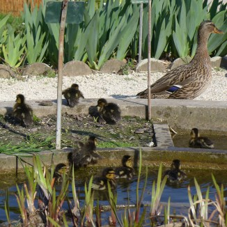 Female duck and ducklings going out the water