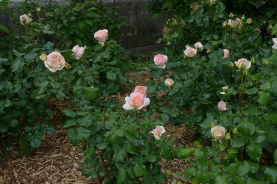 Roses along the path - Promenade plantee